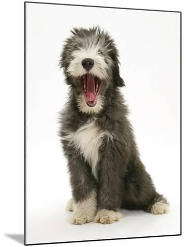 Blue Bearded Collie Puppy, 3 Months, Yawning-Mark Taylor-Mounted Photographic Print