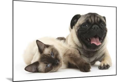 Fawn Pug and Birman-Cross Cat-Mark Taylor-Mounted Photographic Print