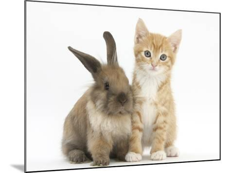 Ginger Kitten, 7 Weeks, and Young Lionhead-Lop Rabbit-Mark Taylor-Mounted Photographic Print