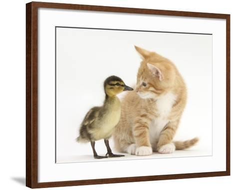 Ginger Kitten and Mallard Duckling, Beak to Nose-Mark Taylor-Framed Art Print