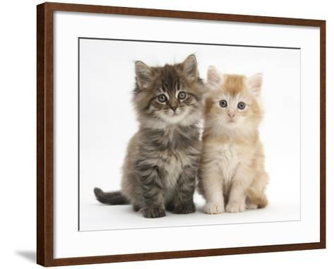 Maine Coon Kittens, 7 Weeks, Showing Different Colours-Mark Taylor-Framed Art Print