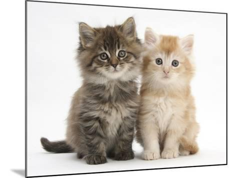 Maine Coon Kittens, 7 Weeks, Showing Different Colours-Mark Taylor-Mounted Photographic Print