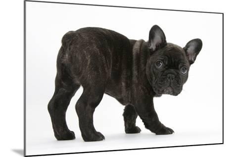 Dark Brindle French Bulldog Pup, Bacchus, 9 Weeks Old-Mark Taylor-Mounted Photographic Print