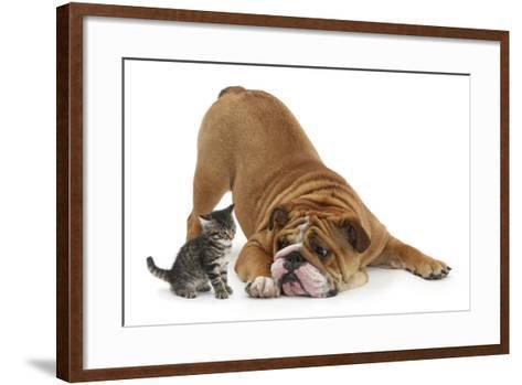 Bulldog with a Tabby Kitten, Fosset, 6 Weeks-Mark Taylor-Framed Art Print