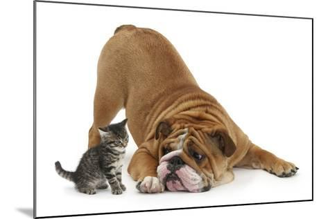 Bulldog with a Tabby Kitten, Fosset, 6 Weeks-Mark Taylor-Mounted Photographic Print