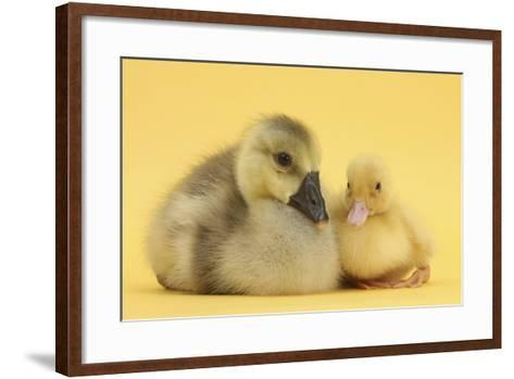 Yellow Gosling and Duckling on Yellow Background-Mark Taylor-Framed Art Print