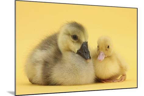 Yellow Gosling and Duckling on Yellow Background-Mark Taylor-Mounted Photographic Print