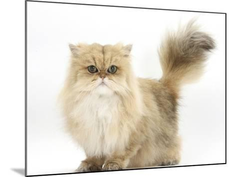 Golden Chinchilla Persian Female Cat, 6 Years-Mark Taylor-Mounted Photographic Print