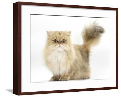 Golden Chinchilla Persian Female Cat, 6 Years-Mark Taylor-Framed Art Print