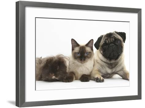Fawn Pug, Burmese-Cross Cat and Shaggy Guinea Pig-Mark Taylor-Framed Art Print