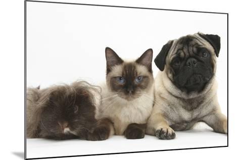 Fawn Pug, Burmese-Cross Cat and Shaggy Guinea Pig-Mark Taylor-Mounted Photographic Print