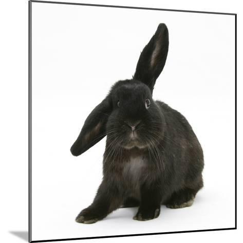 Black Rabbit with Windmill Ears-Mark Taylor-Mounted Photographic Print