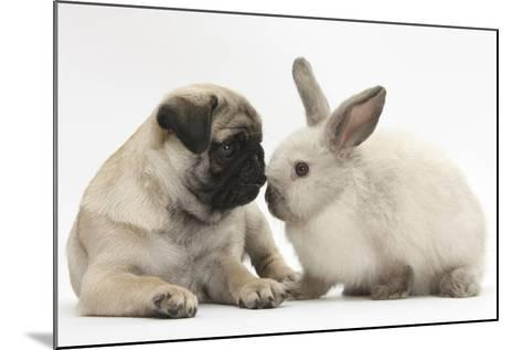 Fawn Pug Puppy, 8 Weeks, and Sooty Colourpoint Rabbit-Mark Taylor-Mounted Photographic Print