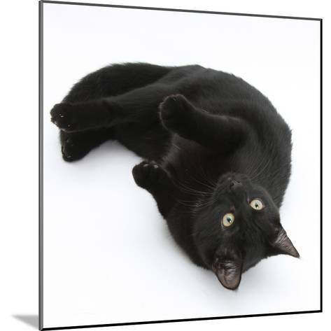 Black Male Cat, Joey, 6 Months, Rollling on Back-Mark Taylor-Mounted Photographic Print