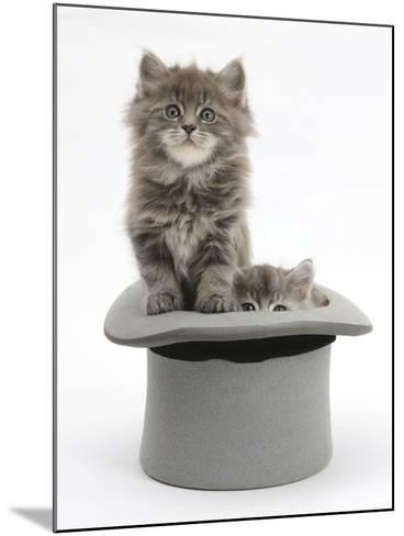 Two Maine Coon Kittens, 7 Weeks, in a Grey Top Hat-Mark Taylor-Mounted Photographic Print