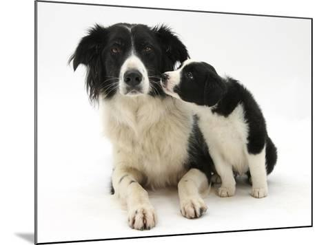Black-And-White Border Collie Bitch, and Pup, 6 Weeks-Mark Taylor-Mounted Photographic Print