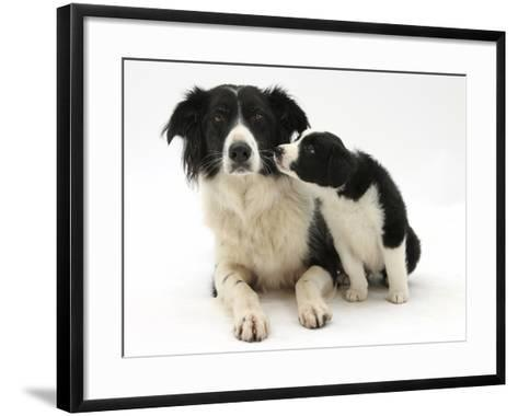 Black-And-White Border Collie Bitch, and Pup, 6 Weeks-Mark Taylor-Framed Art Print