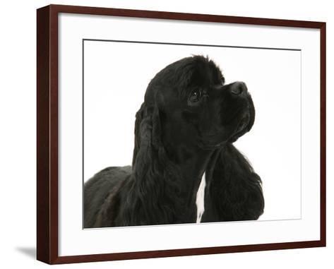 Black American Cocker Spaniel, Josie, 13 Months-Mark Taylor-Framed Art Print