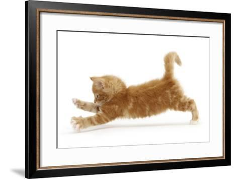 Ginger Kitten Jumping Forwards with Front Paws-Mark Taylor-Framed Art Print
