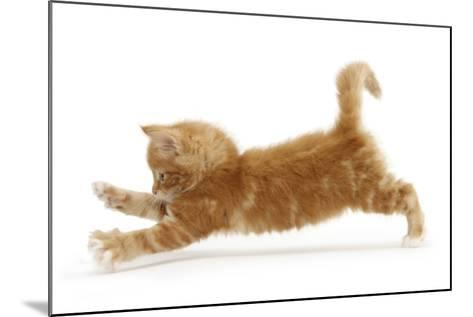 Ginger Kitten Jumping Forwards with Front Paws-Mark Taylor-Mounted Photographic Print
