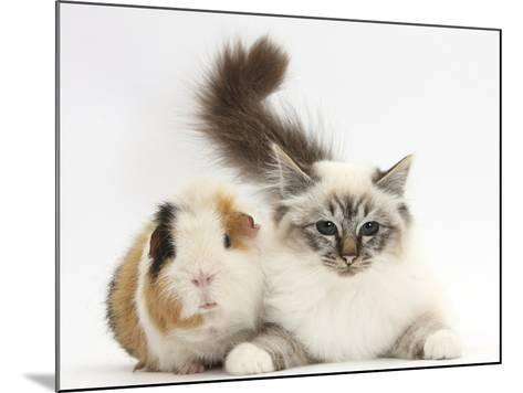 Tabby Point Birman Cat and Guinea Pig, Gyzmo-Mark Taylor-Mounted Photographic Print