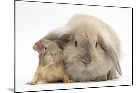 Young Windmill-Eared Rabbit and Matching Guinea-Pig-Mark Taylor-Mounted Photographic Print