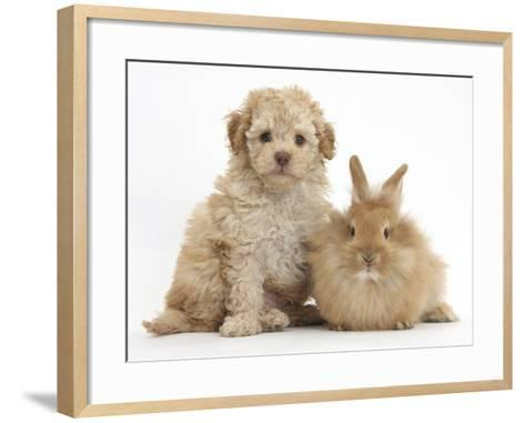 Toy Labradoodle Puppy and Lionhead-Cross Rabbit-Mark Taylor-Framed Art Print