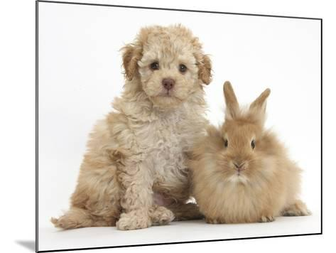 Toy Labradoodle Puppy and Lionhead-Cross Rabbit-Mark Taylor-Mounted Photographic Print