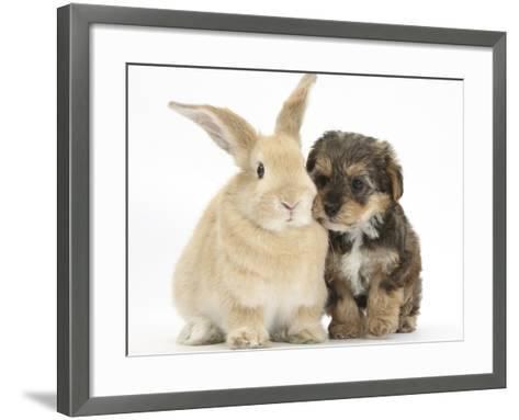 Yorkipoo Pup, 6 Weeks Old, with Sandy Rabbit-Mark Taylor-Framed Art Print
