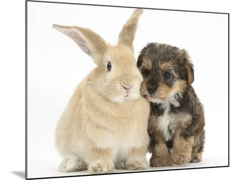 Yorkipoo Pup, 6 Weeks Old, with Sandy Rabbit-Mark Taylor-Mounted Photographic Print