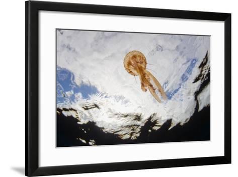 True Jelly Fish (Pelagia Noctiluca) Pico, Azores, Portugal, June 2009-Lundgren-Framed Art Print