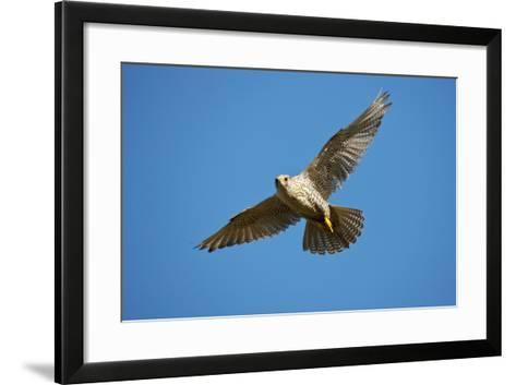 Gyrfalcon (Falco Rusticolus) in Flight, Thingeyjarsyslur, Iceland, June 2009-Bergmann-Framed Art Print