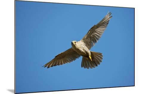 Gyrfalcon (Falco Rusticolus) in Flight, Thingeyjarsyslur, Iceland, June 2009-Bergmann-Mounted Photographic Print