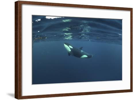 Killer Whale - Orca (Orcinus Orca) Just Below the Surface, Kristiansund, Nordmøre, Norway-Aukan-Framed Art Print