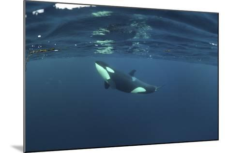 Killer Whale - Orca (Orcinus Orca) Just Below the Surface, Kristiansund, Nordmøre, Norway-Aukan-Mounted Photographic Print