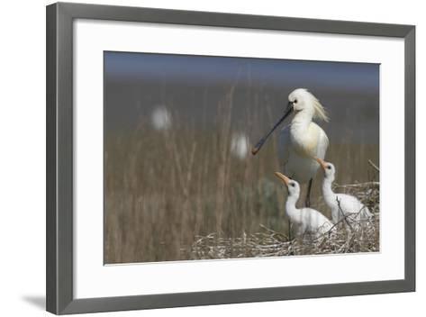 Spoonbill (Platalea Leucorodia) at Nest with Two Chicks, Texel, Netherlands, May 2009- Peltomäki-Framed Art Print