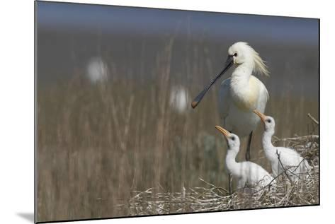 Spoonbill (Platalea Leucorodia) at Nest with Two Chicks, Texel, Netherlands, May 2009- Peltomäki-Mounted Photographic Print