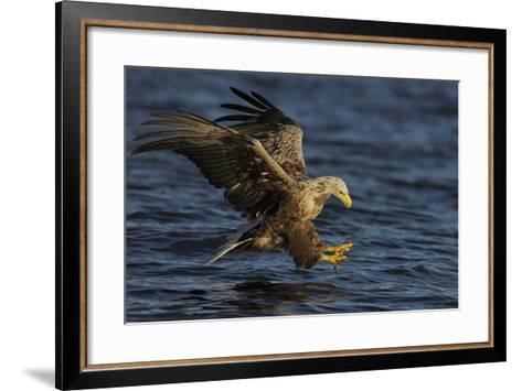White Tailed Sea Eagle Hunting, North Atlantic, Flatanger, Nord-Tr?ndelag, Norway, August-Widstrand-Framed Art Print