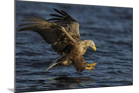 White Tailed Sea Eagle Hunting, North Atlantic, Flatanger, Nord-Tr?ndelag, Norway, August-Widstrand-Mounted Photographic Print