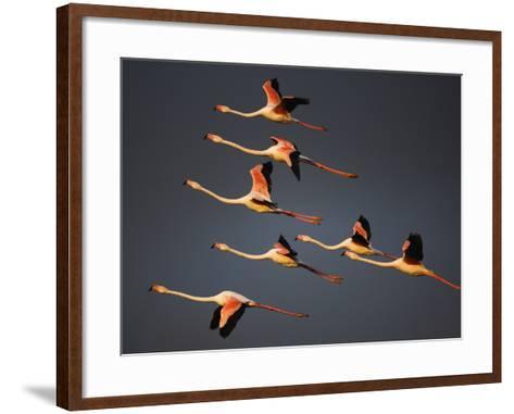 Greater Flamingos (Phoenicopterus Roseus) in Flight, Camargue, France, April 2009-Allofs-Framed Art Print