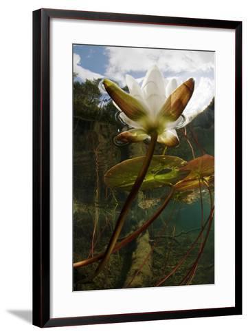 European White Water Lily (Nymphaea Alba) Flower in Lake, Bohusl?n, Sweden, August 2008 Wwe Book-Lundgren-Framed Art Print