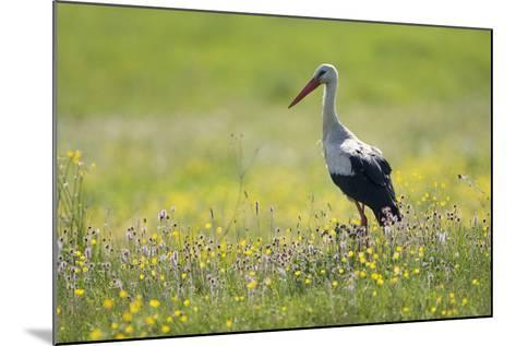 White Stork (Ciconia Ciconia) in Flower Meadow, Labanoras Regional Park, Lithuania, May 2009-Hamblin-Mounted Photographic Print