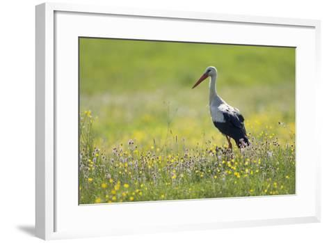 White Stork (Ciconia Ciconia) in Flower Meadow, Labanoras Regional Park, Lithuania, May 2009-Hamblin-Framed Art Print