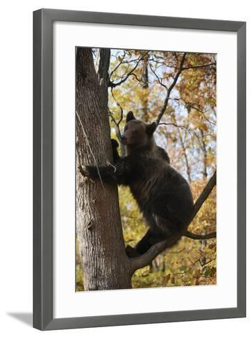 European Brown Bear (Ursus Arctos) in Tree, Captive, Private Bear Park, Near Brasov, Romania-D?rr-Framed Art Print