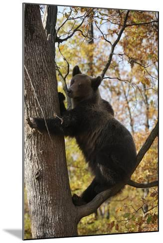European Brown Bear (Ursus Arctos) in Tree, Captive, Private Bear Park, Near Brasov, Romania-D?rr-Mounted Photographic Print