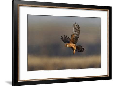 Red Footed Falcon (Falco Vespertinus) Hunting, Bagerova Steppe, Kerch Peninsula, Crimea, Ukraine-Lesniewski-Framed Art Print