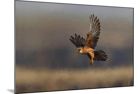 Red Footed Falcon (Falco Vespertinus) Hunting, Bagerova Steppe, Kerch Peninsula, Crimea, Ukraine-Lesniewski-Mounted Photographic Print