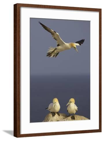Northern Gannet (Morus Bassanus) Flying over Two on Rock, Saltee Islands, Ireland, June 2009- Green-Framed Art Print
