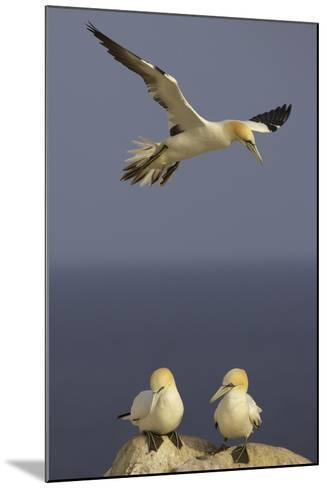 Northern Gannet (Morus Bassanus) Flying over Two on Rock, Saltee Islands, Ireland, June 2009- Green-Mounted Photographic Print