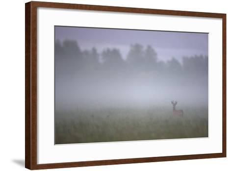 Roe Deer (Capreolus Capreolus) Buck in Wet Meadow at Dawn, Nemunas Delta, Lithuania, June 2009-Hamblin-Framed Art Print